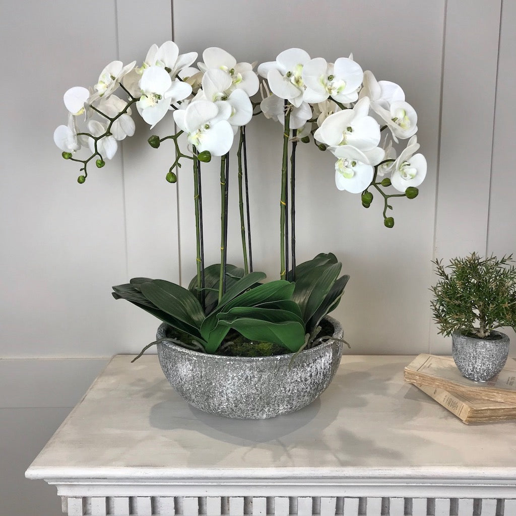 White Orchid Phalaenopsis Plants In Stone Look Bowl