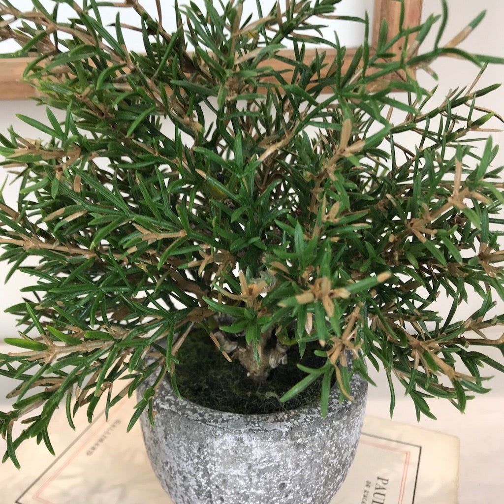 Faux Rosemary Topiary Mini Tree In Pot Pair Cowshed Interiors