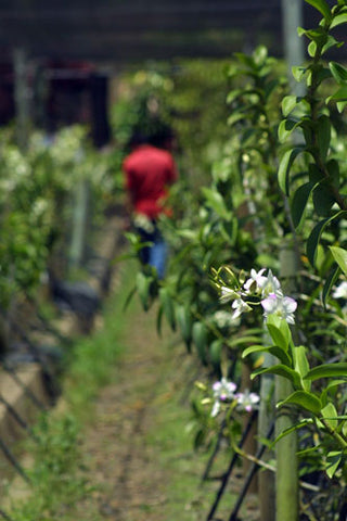Malagos Farm is one of the production farms of Puentespina Orchids and Tropical Plants Inc. in Davao City, Philippines.