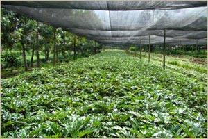 One of the production farms of Puentespina Orchids and Tropical Plants Inc.