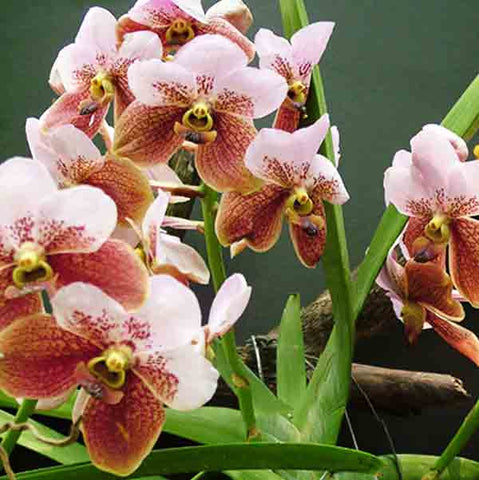 Shop online  for Philippine-grown orchids such as Euanthe Sanderiana a.k.a. Waling-waling or Vanda Sanderiana. Delivers in the Philippines! Great as decor & gifts too!  Start your orchid collection now! Euanthe Sanderiana starter and seedling sets also available. Shopping Orchids made easy!