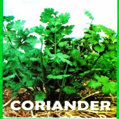 Shop online for Coriander/Cilantro/Wansoy vegetable seeds. Delivers in the Philippines.  Adding greenery made easy!