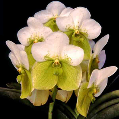 Shop online for  Philippine-grown orchids such as Euanthe Sanderiana Alba. Delivers in the Philippines! Great as decor & gifts too!  Start your orchid collection now! Euanthe Sanderiana starter and seedling sets also available! Shopping Orchids made easy!