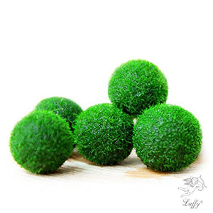 Luffy My First pet Plant Nano Marimo Moss Ball - Fun, Bright and Fluffy - Introduction to Green World - for Educational, DIY Projects - Instigate Natural Learning Habitat - His Perfect Gifts