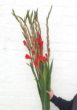 Load image into Gallery viewer, Gladioli
