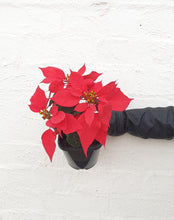 Load image into Gallery viewer, Poinsettia