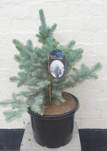 Load image into Gallery viewer, Blue Spruce Large Christmas Tree