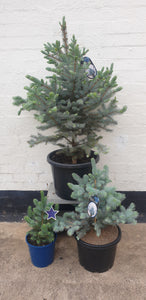 Blue Spruce Medium Christmas Tree