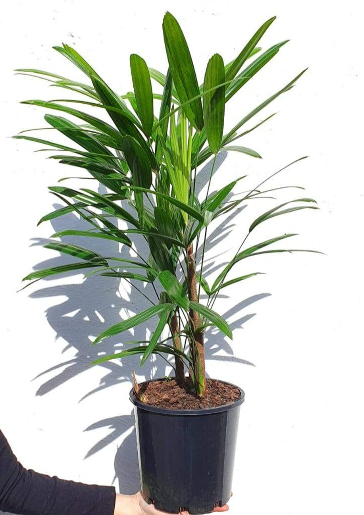 Rhapis Palm