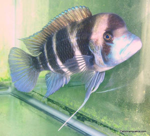 African - Frontosa Cyphotilapia 5-6in.