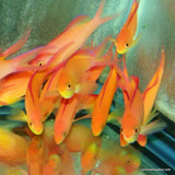 Anthias - Dispar