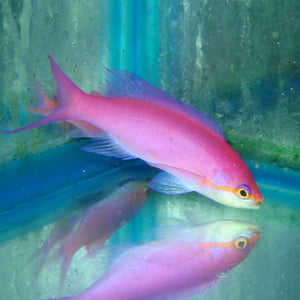 Anthias - Queen Purple