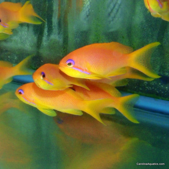 Anthias - Squamipinnis Female