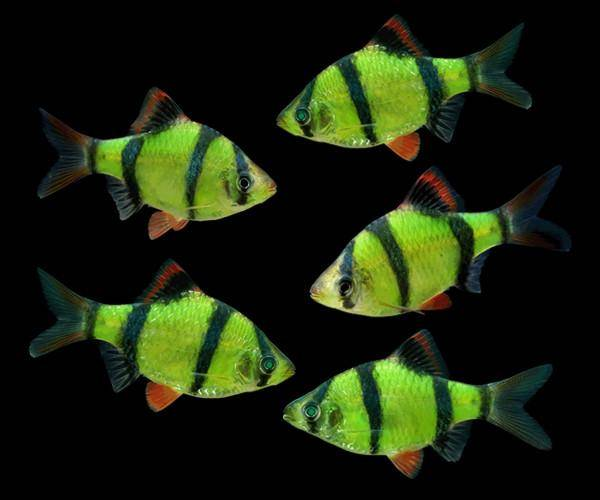 GloFish® - Barb Tiger Electric Green
