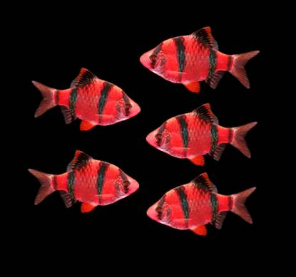 GloFish® - Barb Tiger Starfire Red
