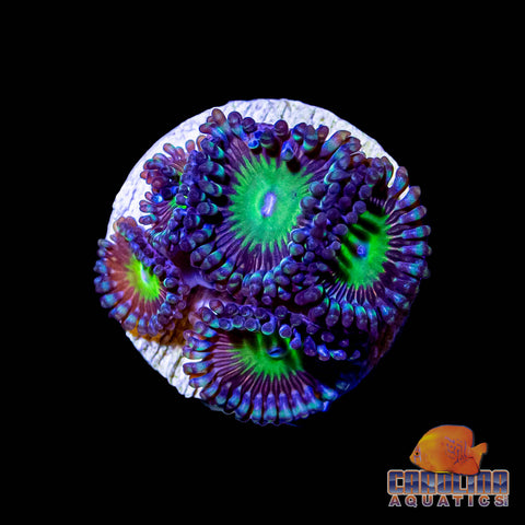 Frag -  Candy Apple Green Zoanthid