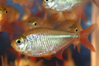 Tetra - Columbian Red/Blue