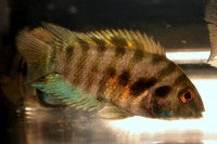 Cichlid - Convict Black