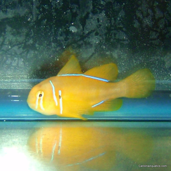 Goby - Citron XL