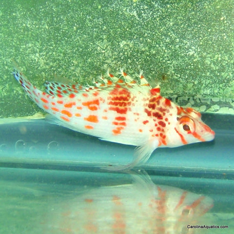 Hawkfish - Spotted