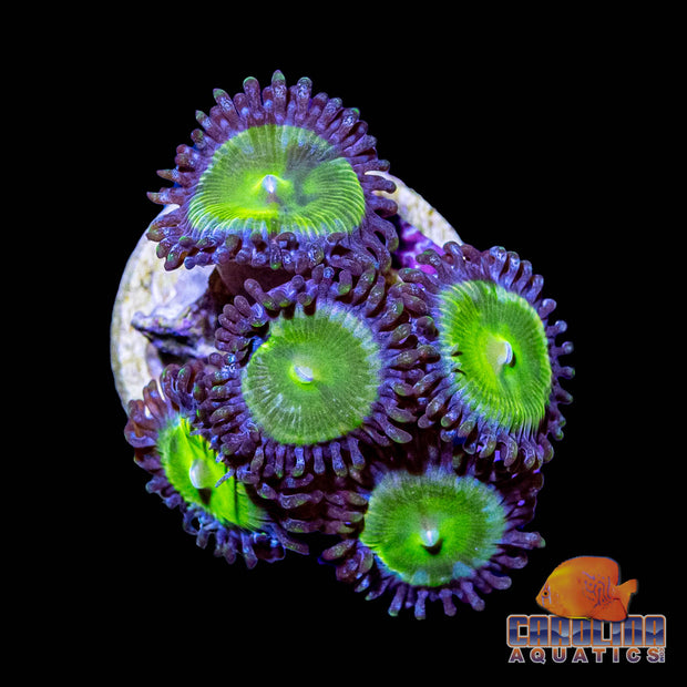Frag - Granny Smith Apple Zoanthid