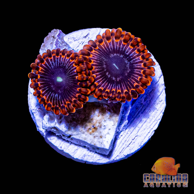 Frag - Red Striped Zoanthid