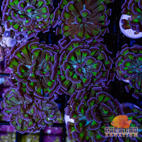 Indo - Hammer Branch Green Stem Frag (per head)