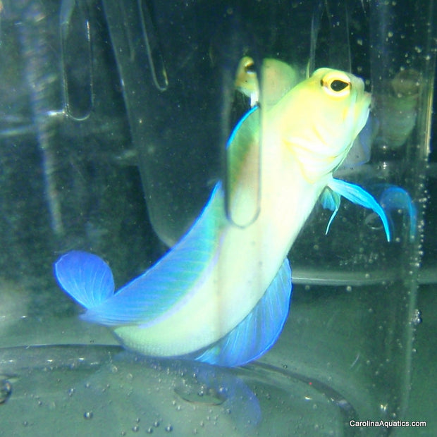 Jawfish - Pearly