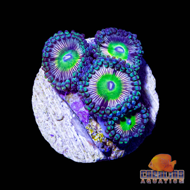 Frag -  Lions Head Zoanthid