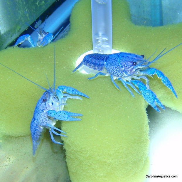 Invert - Lobster Electric Blue