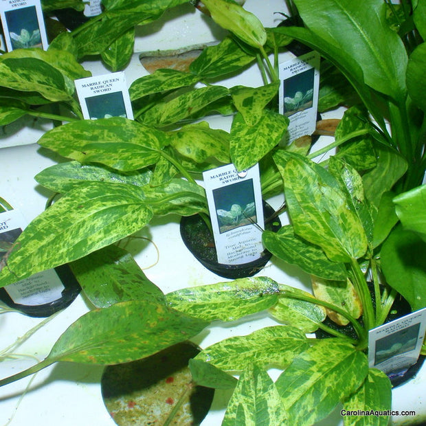 Sword Radican Marble Queen Potted
