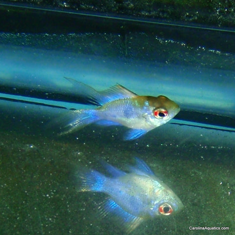 Cichlid - Ram Electric Blue Balloon