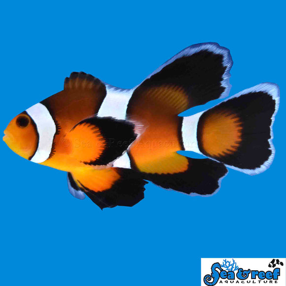 Clown - Mocha Longfin