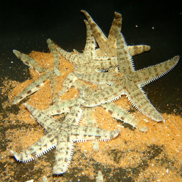 Starfish - Sand Shifting