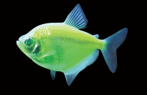GloFish® - Tetra Electric Green