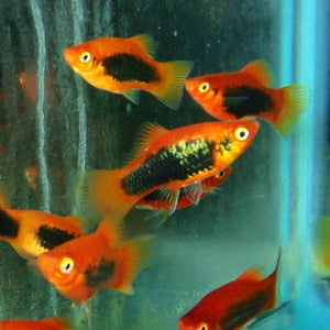 Platy - Tux Red