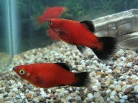 Platy - Wag Red