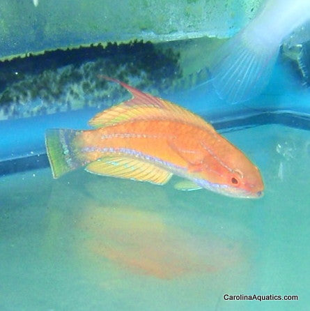 Wrasse - Fairy Carpenters Male