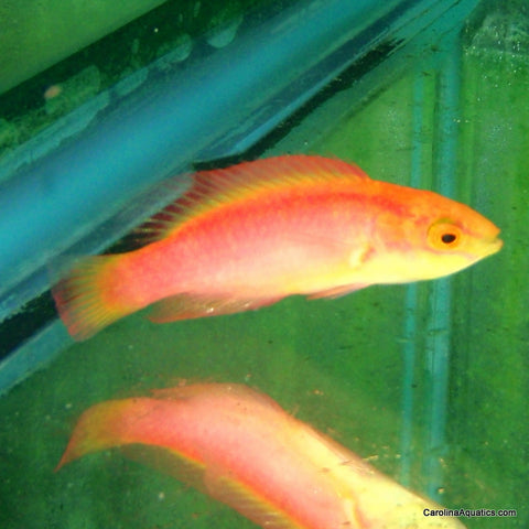 Wrasse - Flame Female