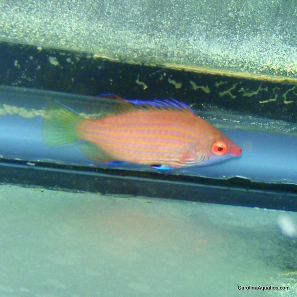 Wrasse - Six line Cryptic