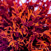 Algae - Dragons Breath Frag