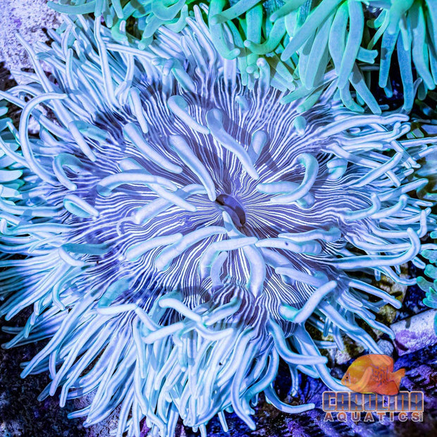 Anemone - Long Tentacle