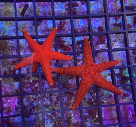 Starfish - Fromia Sm