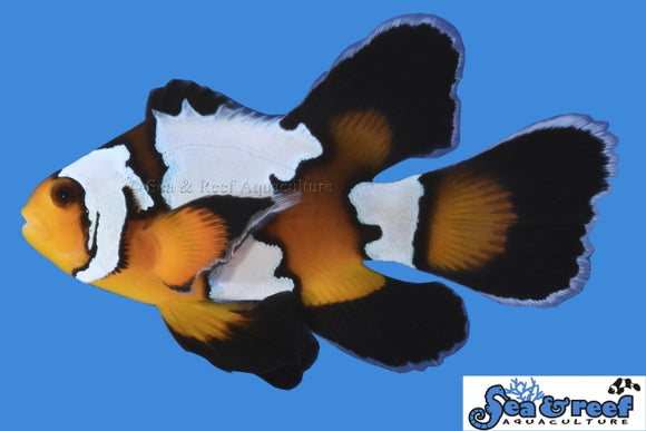 Clown - Black Ice LongFin