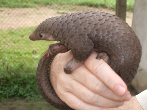 pangolin young pup