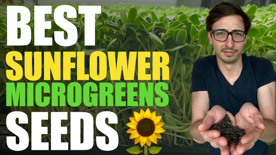 BEST Sunflower Microgreens SEEDS (High Germination, No mold, High Yields)