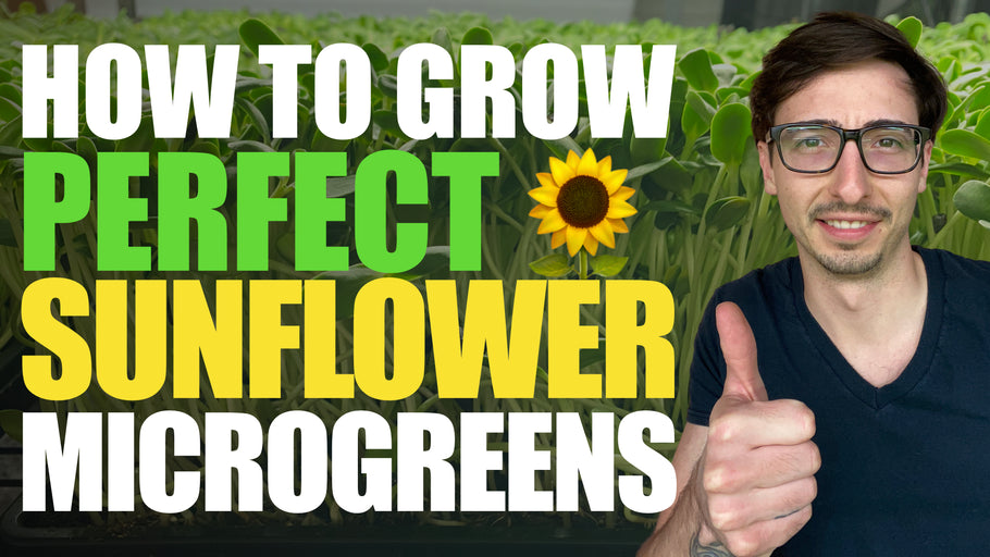 How to Grow Sunflower Microgreens FULL WALKTHROUGH + Tips & Tricks