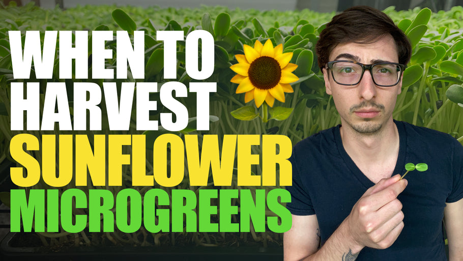 When are Sunflower Microgreens READY for HARVEST? (How To Tell)