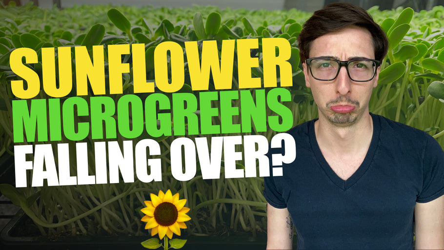 Why Your Sunflower Microgreens are FALLING OVER