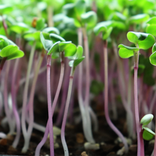 Load image into Gallery viewer, Organic & Non-GMO China Rose RADISH MICROGREENS SEEDS